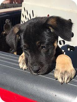 Shepherd (Unknown Type) Mix Puppy for adoption in BONITA, California - Lilly