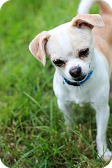 Chihuahua Mix Dog for adoption in Morganville, New Jersey - Zeus
