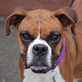 Boxer Dog for adoption in Denver, Colorado - Nevada