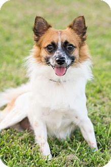 Pembroke Welsh Corgi/Papillon Mix Dog for adoption in Santa Fe, Texas - Swift