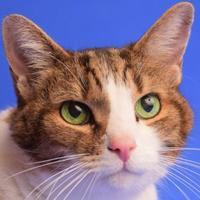 Adopt A Pet :: Arthur - Longmont, CO