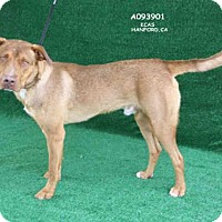 German Shepherd Dog Mix Dog for adoption in Hanford, California - *GOMEZ