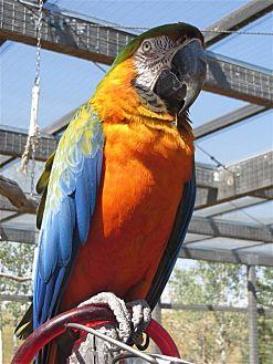 Macaw for adoption in Elizabeth, Colorado - Savanna