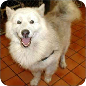 "Alaskan Malamute Dog for adoption in Various Locations, Indiana - ""Tundra needs love:"