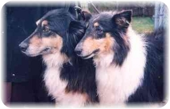 Collie Dog for adoption in Baldwin, New York - Tess & ali