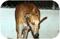 Greyhound Dog for adoption in St Petersburg, Florida - Shock