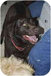 Labrador Retriever Dog for adoption in Provo, Utah - Brownie