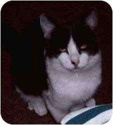 Domestic Shorthair Cat for adoption in Prescott, Arizona - Bella
