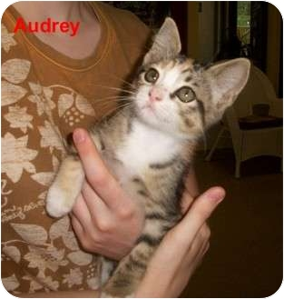 Domestic Shorthair Kitten for adoption in Slidell, Louisiana - Audrey-PS