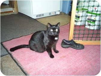 Domestic Shorthair Cat for adoption in Woodland, Washington - Ms. Skeeter