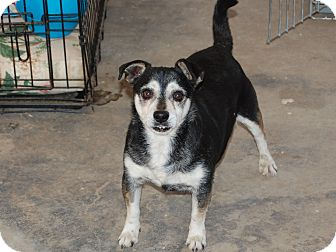 Chihuahua Mix Dog for adoption in Creston, California - Elmer Fudd