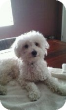 Poodle (Toy or Tea Cup) Mix Dog for adoption in St. Petersburg, Florida - Mickey