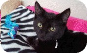 Domestic Shorthair Kitten for adoption in Chicago, Illinois - Lilly