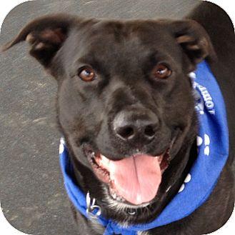 Labrador Retriever Mix Dog for adoption in Ithaca, New York - JoJo