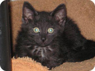 Domestic Shorthair Kitten for adoption in Pinehurst, North Carolina - Mr Binx
