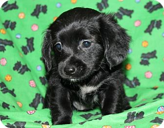 Border Collie Mix Puppy for adoption in Hainesville, Illinois - Layla