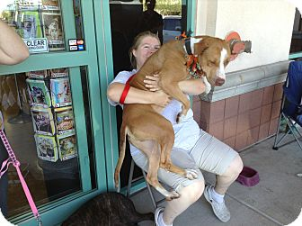 American Pit Bull Terrier Mix Dog for adoption in Scottsdale, Arizona - Lenny