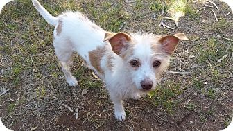 Jack Russell Terrier/Terrier (Unknown Type, Small) Mix Dog for adoption in Scottsdale, Arizona - Barney