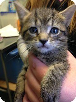 Domestic Shorthair Kitten for adoption in Mine Hill, New Jersey - Moonshine