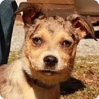 Adopt A Pet :: Boomer ($300) - Ocala, FL