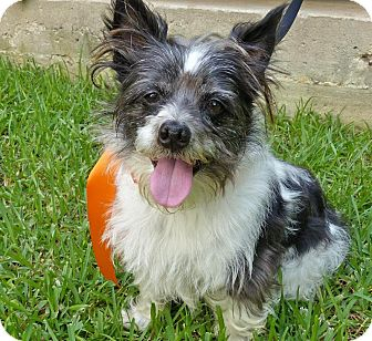 Terrier (Unknown Type, Small)/Terrier (Unknown Type, Small) Mix Dog for adoption in Baton Rouge, Louisiana - Sarge