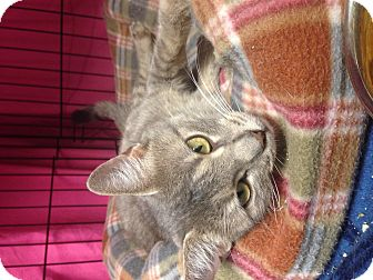Domestic Shorthair Cat for adoption in Warwick, Rhode Island - Pandora