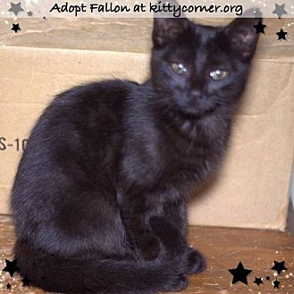 Domestic Shorthair Cat for adoption in Liverpool, New York - Fallon