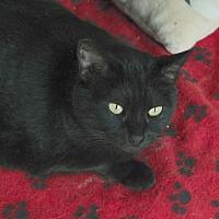 Domestic Shorthair Cat for adoption in San Pablo, California - REYNA