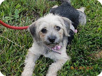Terrier (Unknown Type, Small)/Yorkie, Yorkshire Terrier Mix Dog for adoption in Norwalk, Connecticut - Alice - MEET HER