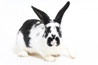 Netherland Dwarf for adoption in Truckee, California - Grover