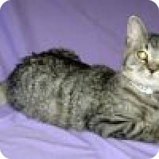 Domestic Shorthair Kitten for adoption in Powell, Ohio - Tinkerbell