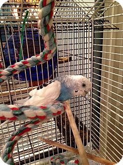 Budgie for adoption in St. Louis, Missouri - Whisper