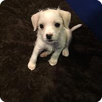 Adopt A Pet :: Annabelle - Russellville, KY