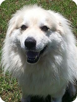 Great Pyrenees Dog for adoption in Tulsa, Oklahoma - Miss Artemis  *Adopted!