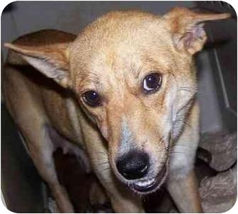 Carolina Dog/Terrier (Unknown Type, Small) Mix Dog for adoption in Pittsboro/Durham, North Carolina - Ginny
