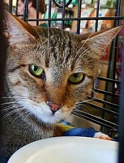 Domestic Shorthair Kitten for adoption in Lyons, Illinois - Sammy our little butterfly
