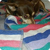 Adopt A Pet :: Pebbles - Pinellas Park, FL
