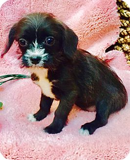 Yorkie, Yorkshire Terrier/Papillon Mix Puppy for adoption in Los Angeles, California - Tabitha