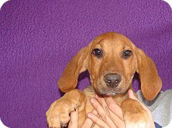 Labrador Retriever/Golden Retriever Mix Puppy for adoption in Oviedo, Florida - Wizard