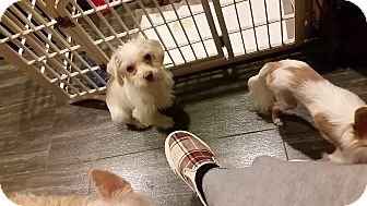 Dachshund/Terrier (Unknown Type, Small) Mix Puppy for adoption in Santa Ana, California - Leo
