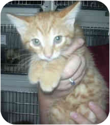 Domestic Shorthair Kitten for adoption in West Warwick, Rhode Island - Robby