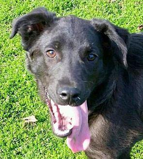Collie/American Staffordshire Terrier Mix Puppy for adoption in Cedartown, Georgia - Jax