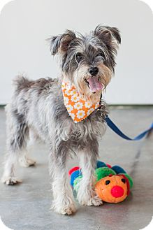Schnauzer (Miniature) Mix Dog for adoption in Victoria, British Columbia - Abby