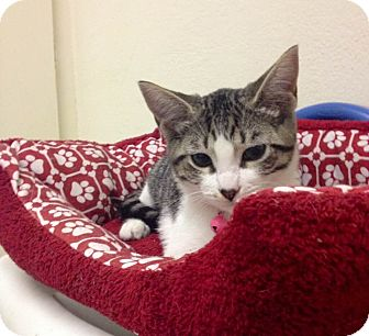 Domestic Shorthair Kitten for adoption in San Diego, California - Jasmine