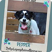 Adopt A Pet :: PEPPER - Lincoln, NE