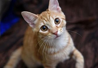 Domestic Shorthair Kitten for adoption in Chattanooga, Tennessee - Mickey