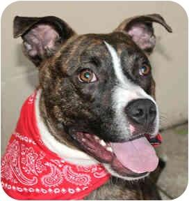 American Bulldog Mix Dog for adoption in Cincinnati, Ohio - Kello
