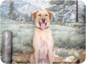 Labrador Retriever Dog for adoption in West Los Angeles, California - Daniel
