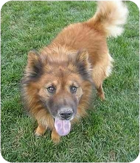 Chow Chow Mix Dog for adoption in Meridian, Idaho - Chester