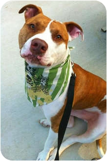 American Pit Bull Terrier/American Bulldog Mix Dog for adoption in Medford, New Jersey - Blaze
